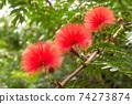 Calliandra haematosus花在沖繩開花美麗的花在沖繩的亞熱帶開花 74273874