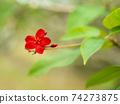 小紅色花朵盛開在沖繩島美麗的花朵盛開在沖繩的亞熱帶 74273875