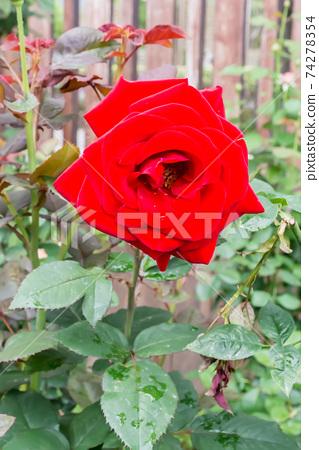 盛開的玫瑰花 74278354