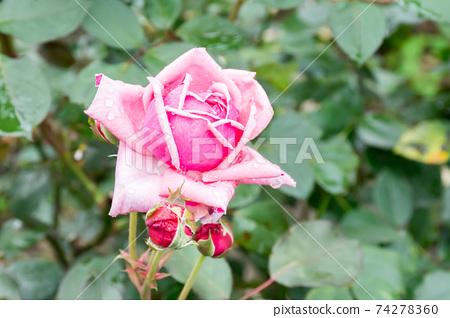盛開的玫瑰花 74278360