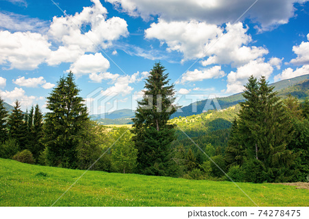 summer countryside in mountains. spruce trees on the grassy meadow. wonderful weather with fluffy clouds on the sky. beautiful landscape scenery 74278475