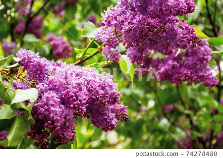wet lilac blossom on the branches. beautiful nature background in springtime 74278480