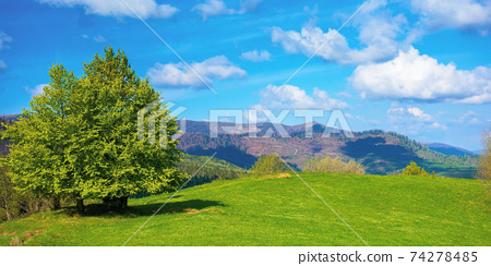 tree on the meadow in mountains. beautiful nature landscape on a sunny day in spring. fluffy clouds on the blue sky above the distant range 74278485