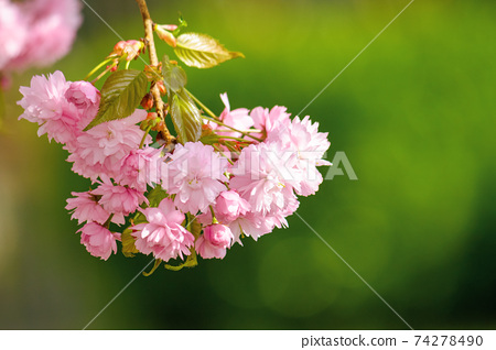 japanese cherry blossom on the branch. beautiful close up nature background in springtime on sunny day 74278490