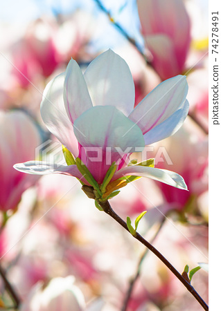 pink magnolia blossom in springtime. beautiful flowers on the branch in morning light 74278491