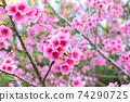 猩紅色的櫻花,有著美麗的粉紅色(沖繩縣) 74290725