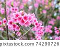猩紅色的櫻花,有著美麗的粉紅色(沖繩縣) 74290726