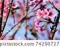 猩紅色的櫻花,有著美麗的粉紅色(沖繩縣) 74290727