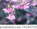 猩紅色的櫻花,有著美麗的粉紅色(沖繩縣) 74290728