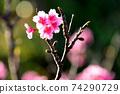 猩紅色的櫻花,有著美麗的粉紅色(沖繩縣) 74290729