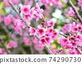 猩紅色的櫻花,有著美麗的粉紅色(沖繩縣) 74290730