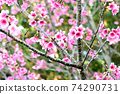 猩紅色的櫻花,有著美麗的粉紅色(沖繩縣) 74290731