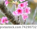猩紅色的櫻花,有著美麗的粉紅色(沖繩縣) 74290732