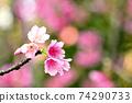 猩紅色的櫻花,有著美麗的粉紅色(沖繩縣) 74290733