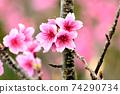 猩紅色的櫻花,有著美麗的粉紅色(沖繩縣) 74290734