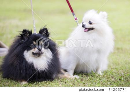 兩個博美犬在散步時休息一下 74296774