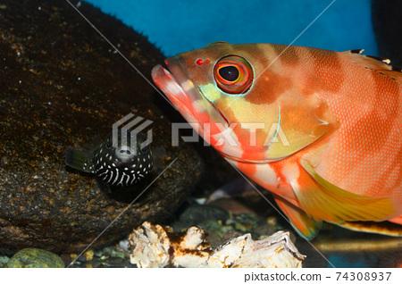 白斑河豚河豚赤ah石斑魚 74308937