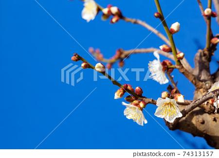 梅花盛開在早春 74313157