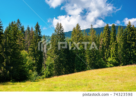fir forest on the green grassy meadow. beautiful mountain landscape in summertime. good sunny weather with fluffy clouds on the sky at noon. carpathian countryside in mid summer 74323598