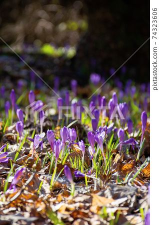 purple crocus flower blooming. beautiful nature scenery in the park. sunny weather. close up shot with shallow depth of field 74323606
