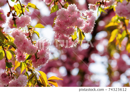 pink cherry blossom closeup. beautiful nature background in spring on a sunny day in park 74323612