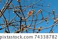 Kawazu櫻桃樹的芽在Inage沿海站前面立刻開花 74338782