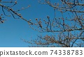 Kawazu櫻桃樹的芽在Inage沿海站前面立刻開花 74338783