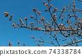 Kawazu櫻桃樹的芽在Inage沿海站前面立刻開花 74338784