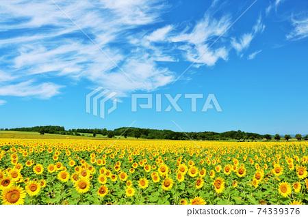 北海道夏天藍天和向日葵領域 74339376