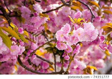 pink cherry blossom close up. beautiful nature scenery in morning light. spring freshness concept 74351777
