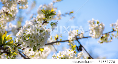 white apple blossom in morning sunlight. beautiful nature background in springtime. tender flowers on the branches in front of the blurry background of twigs and blue sky 74351778