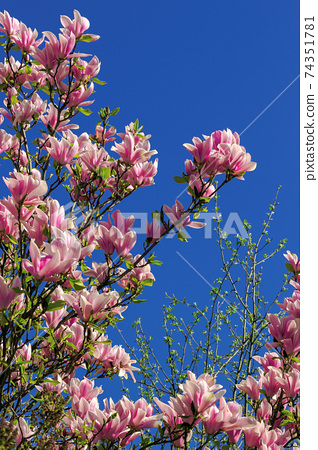 pink blossom of magnolia tree in spring. flowers on the branches in bright sunlight. beautiful nature background beneath a deep blue cloudless sky 74351781