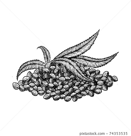 Superfood hemp protein. Leaf and seeds. Hand drawn vector illustration on white background. Engraving drawing style. 74353535