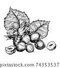 Hazelnuts nuts and leaves. Hand drawn sketches vector illustration on white background in vintage style. 74353537