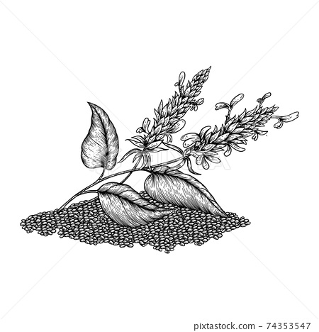 Chia plant and seeds. Superfood. Hand drawn vector illustration of buckwheat plant with flowers on white background. 74353547