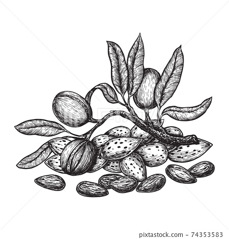 Almond hand drawing vintage style. Engraving drawing style vector illustration 74353583