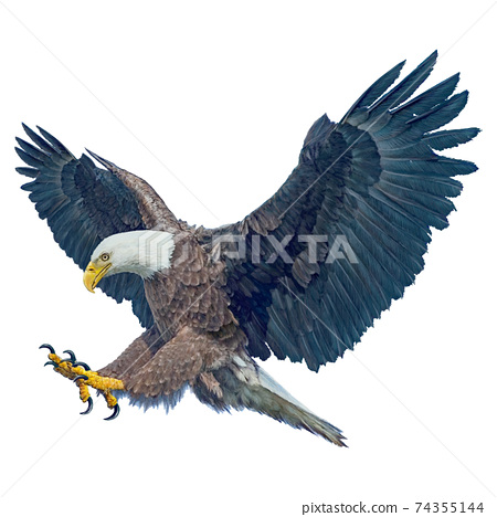 Bald eagle winged flying swoop attack hand draw and paint on white background vector illustration. 74355144