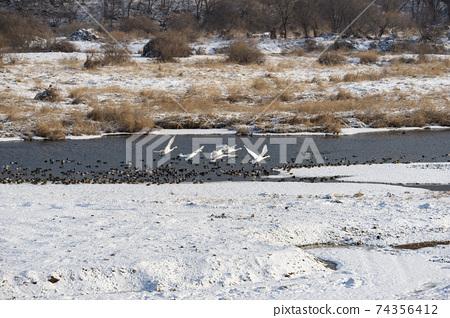 고니,청둥오리,철원군,강원도 74356412