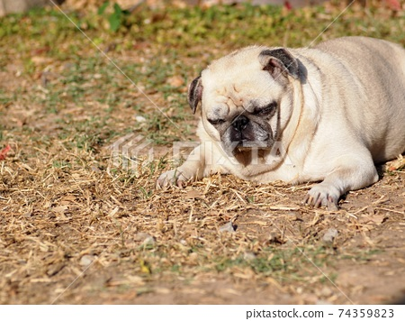 lovely white fat cute pug portraits close up lying on garden floor outdoor making sad face taking sunbath with blur background 74359823