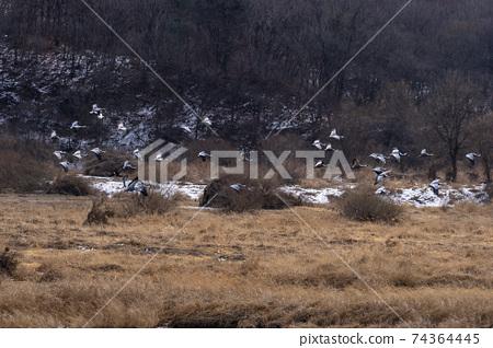 재두루미,철원군,강원도 74364445
