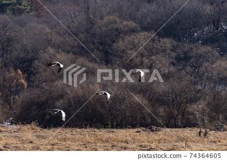 재두루미,철원군,강원도 74364605