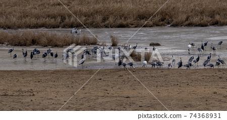 두루미,재두루미,철원군,강원도 74368931