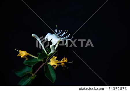 인동덩굴 꽃 핀 접사 모습 74372878