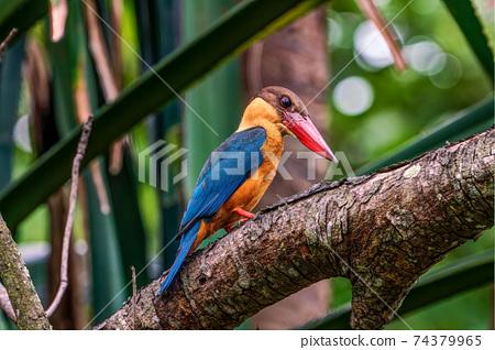 [翠鳥]棲息在樹枝上的鸛嘴翠鳥 74379965