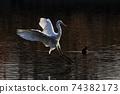 白鷺 飛翔 74382173