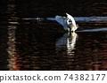 白鷺 飛翔 74382177