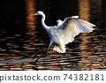 白鷺 飛翔 74382181