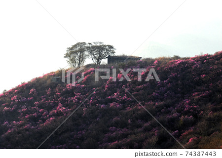 여수시.영춰산.진달래꽃.봄.일출 74387443