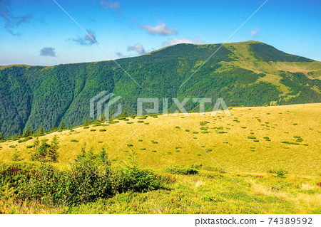 summer mountain landscape in the morning. fir trees on grassy meadows. distant hills beneath a blue sky with clouds. chornohora ridge wonderful travel destination of carpathians 74389592