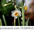흰 수선화 꽃 클로즈업 74389915